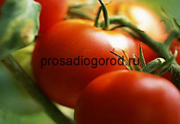 томат огни москвы сорт