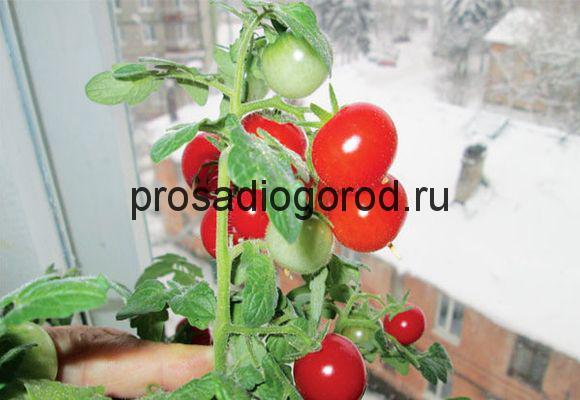 сорта помидоров для выращивания зимой