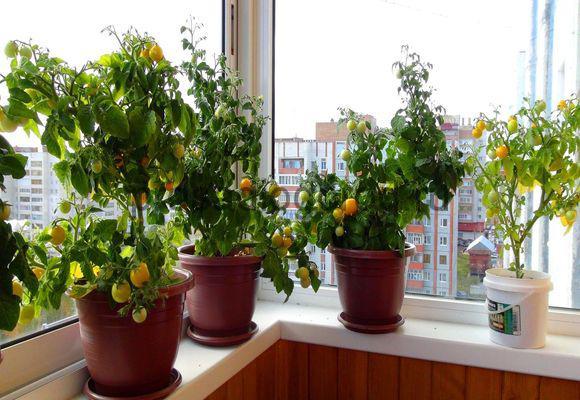Выращивание помидоров на балконе: пошаговая инструкция, фото.