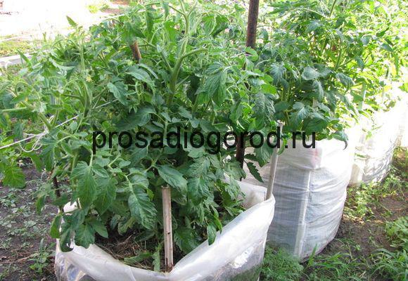 томаты в мешках выращивание и посадка