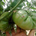 помидоры медовый салют