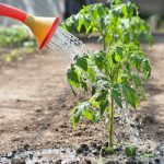 полив помидоров в открытом грунте после высадки