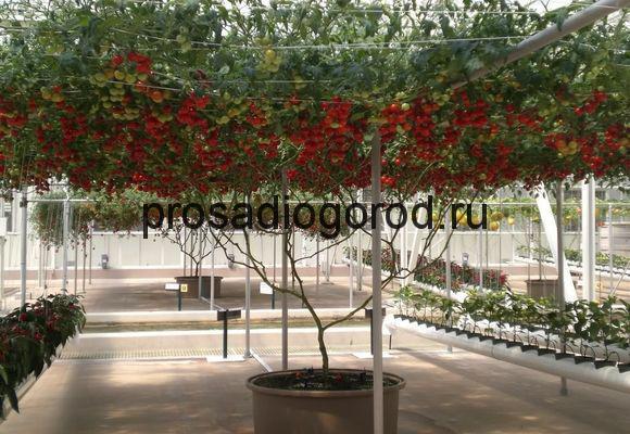 помидорное дерево спрут