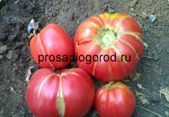 томат бабушкин секрет сорт