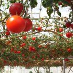томатное дерево спрут