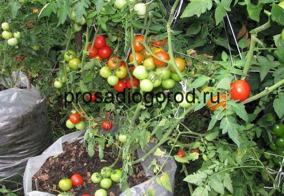 выращивание помидоров в мешках