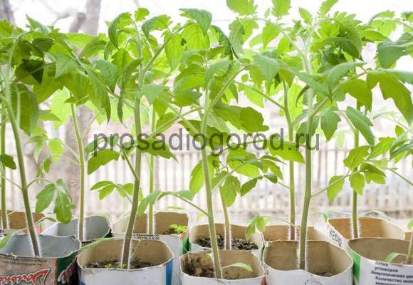 желтеет и вянет рассада томатов на подоконнике