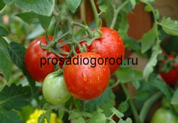 выращивание помидоров по методу митлайдера