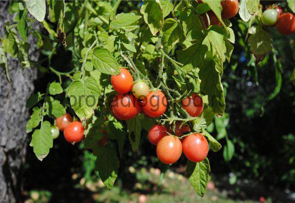 ампельные помидоры каскад F1