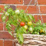ампельные помидоры сорта