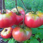 помидоры микадо розовый сорт