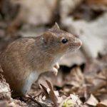 как избавиться от мышей в огороде