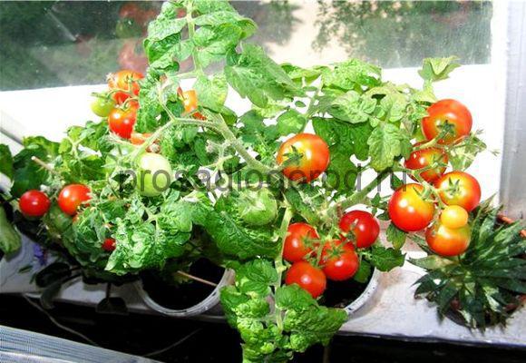 помидоры балконное чудо на подоконнике