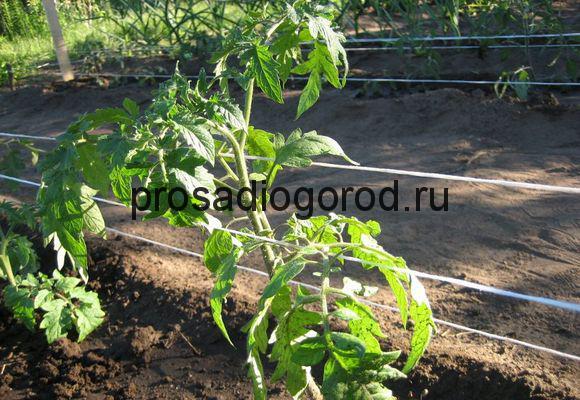 уход за помидорами по митлайдеру в грунте