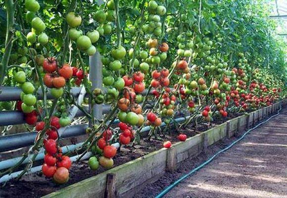 томаты черри в теплице