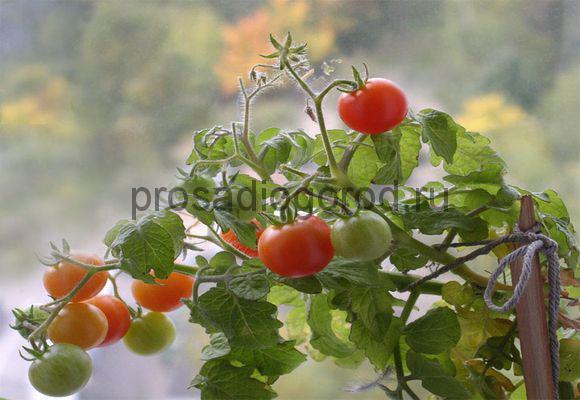 томат черри на подоконнике выращивание