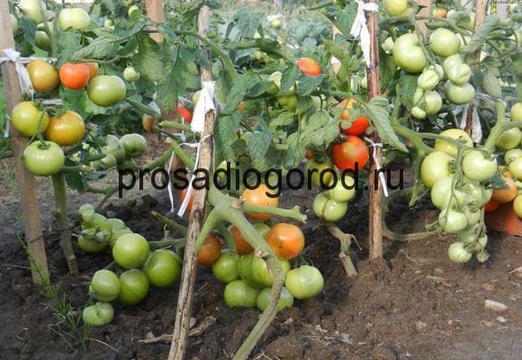 выращивание томатов катя