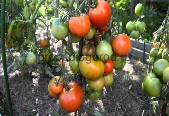 помидоры дубрава сорт
