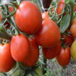 томат рио гранде сорт