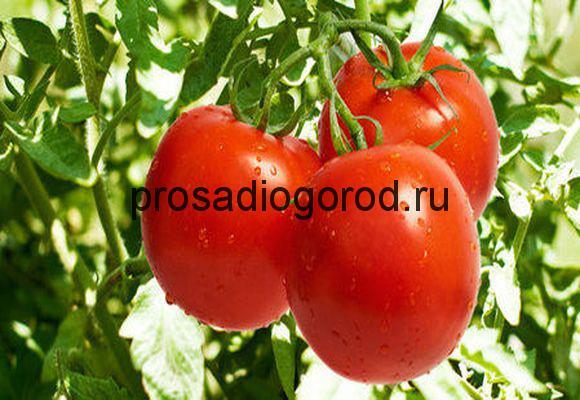 выращивание томатов загадка