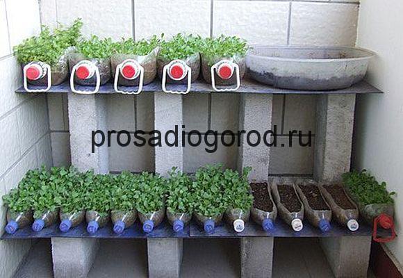 рассада помидор в пластиковой бутылке