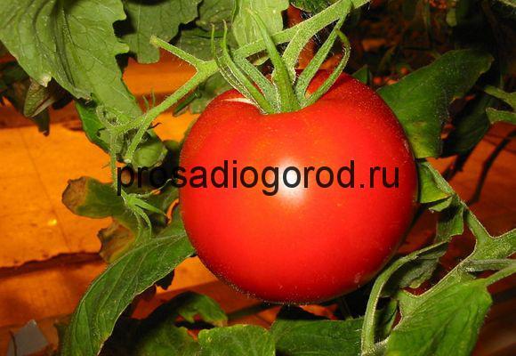 урожайные сорта томатов для выращивания в теплице