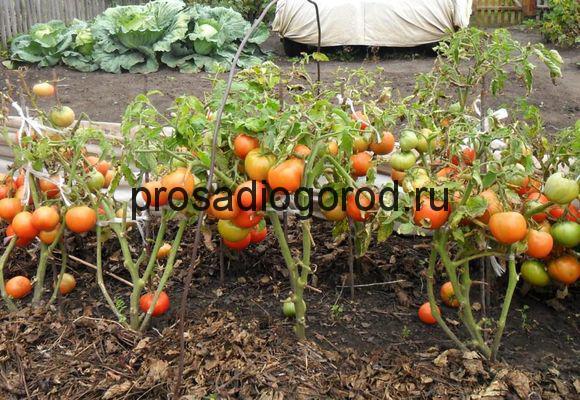 выращивание помидоров без рассады