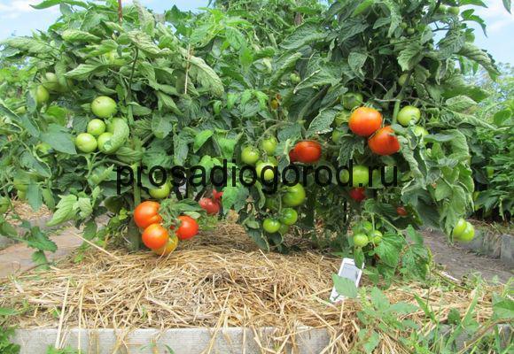 чем мульчировать томаты в теплице