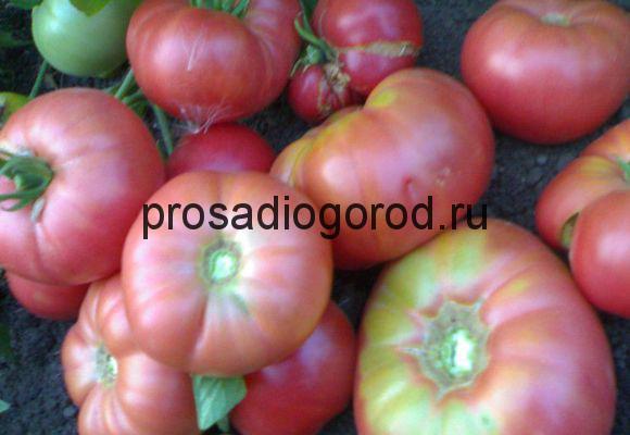 помидоры ранняя любовь выращивание сорта