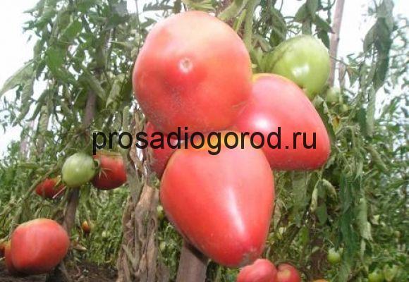 томат орлиный клюв сорт