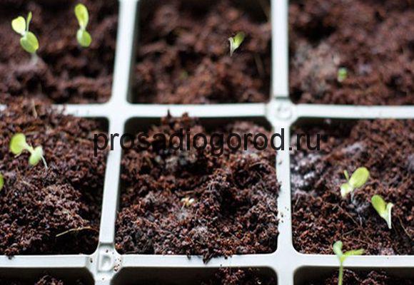 почему плесневеет земля в рассаде помидор