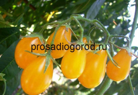 томат сорта медовая капля