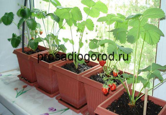 Клубника на балконе выращивание круглый год и правильная пос.