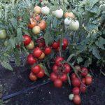 детерминантные помидоры что это