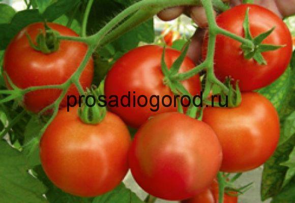 томат гибрид ураган