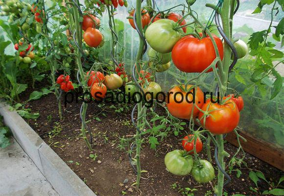формирование томатов в теплице