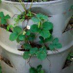 выращивание клубники в бочке