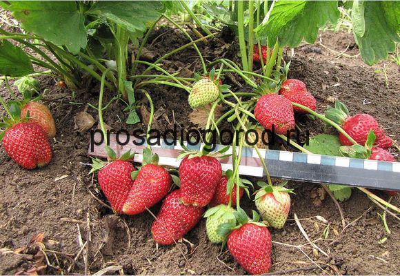 круглогодичное выращивание клубники