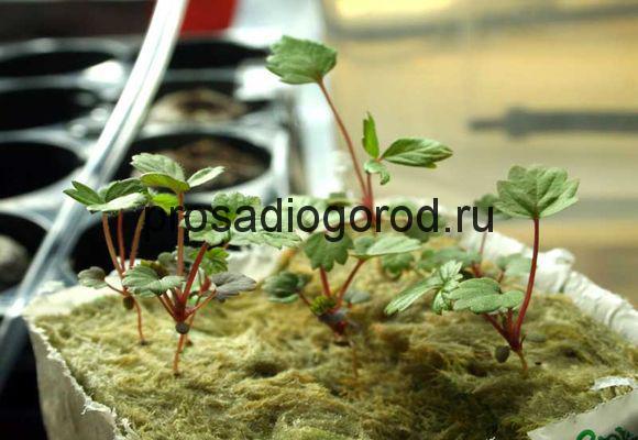 выращивание клубники в квартире