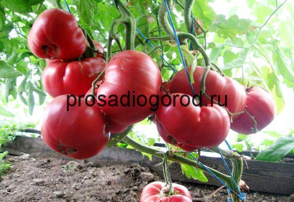 сорт томатов малиновый гигант