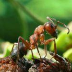 муравьи на помидорах в теплице