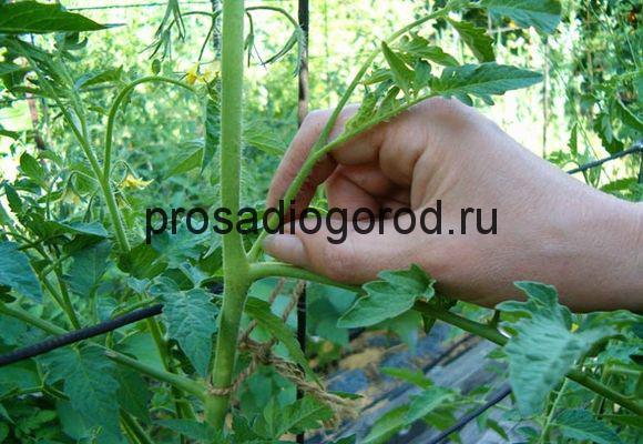 формирование помидор в теплице