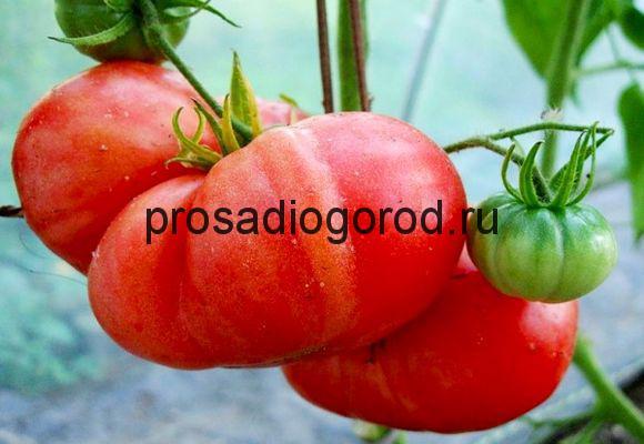 розовый гигант помидоры сорт