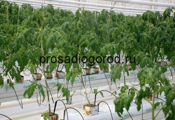 выращивание томатов на гидропонной системе