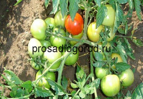 урожайные томаты для открытого грунта