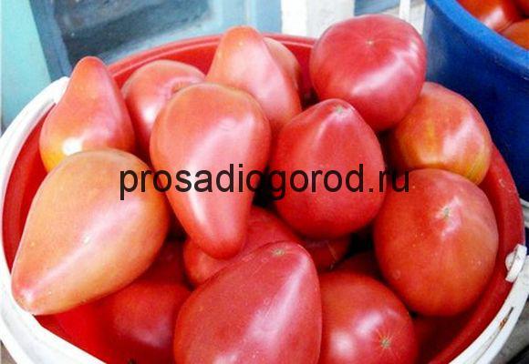 помидоры орлиный клюв описание