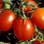томат де барао описание и выращивание