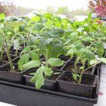 закаливание рассады помидор