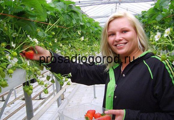 урожай клубники по голландскому методу