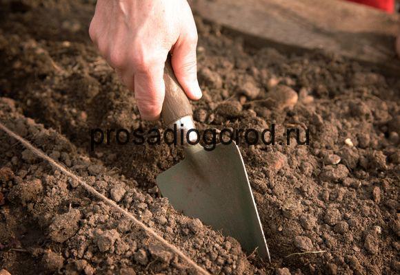 как сеять морковь правильно